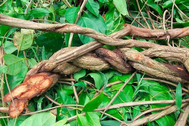 The Banisteriopsis caapi, a vine found in the jungles of South America, and used to brew the psychedelic drink ayahuasca.