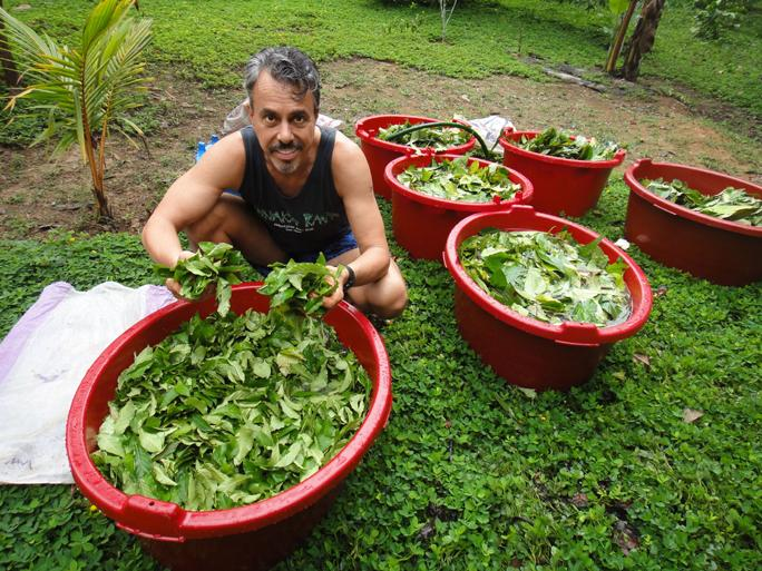 Chris Kilham with leaf cuttings from the Chacruna plant, also known as Psychotria viridis. It is one of the ingredients traditionally used to brew ayahuasca. ZOE HELENE