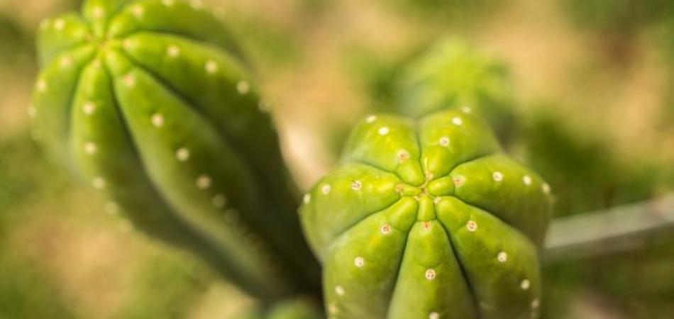 San Pedro: One Of Mother Nature's Most Powerful Psychedelics