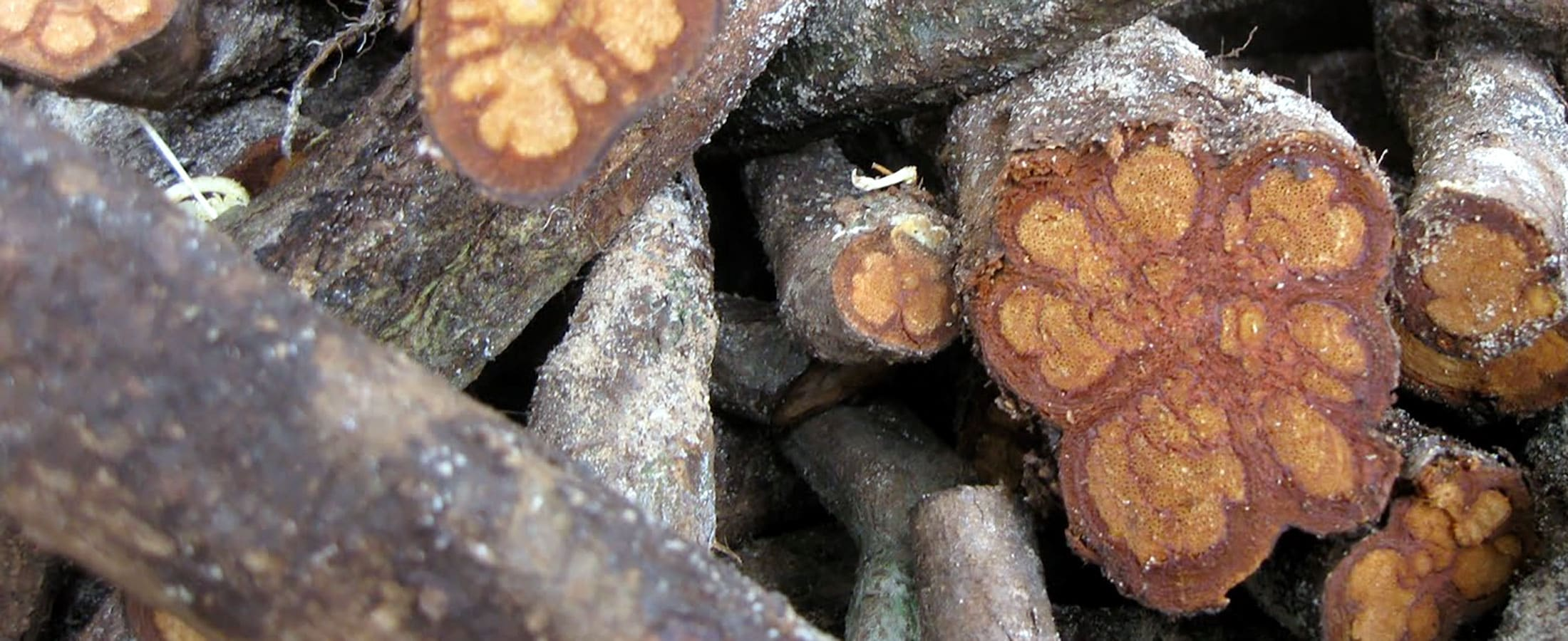 Ayahuasca Root Bark