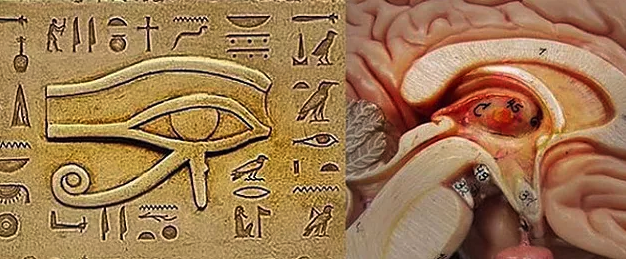 Comparison of the Egyptian Eye of Re (Ra) or the right eye of Horus and the human pineal gland