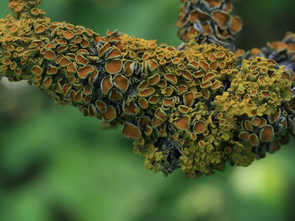 New Species of Psychedelic Lichen Contains Tryptamine and Psilocybin