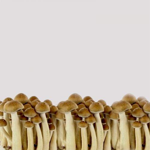 Spirit Molecule - Golden Teacher Psilocybe Spores