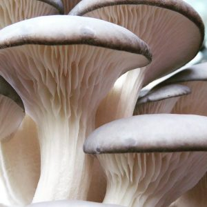 Spirit Molecule - Pearl Oyster Exotic Mushroom Spores
