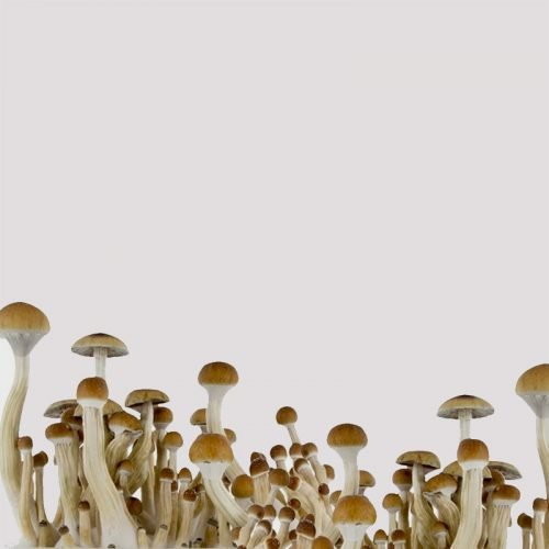 Spirit Molecule - Albino A+ Psilocybe Spores