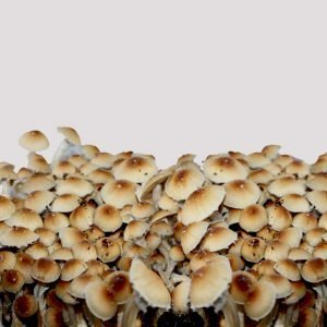 Spirit Molecule - Mexican Dutch King Psilocybe Spores