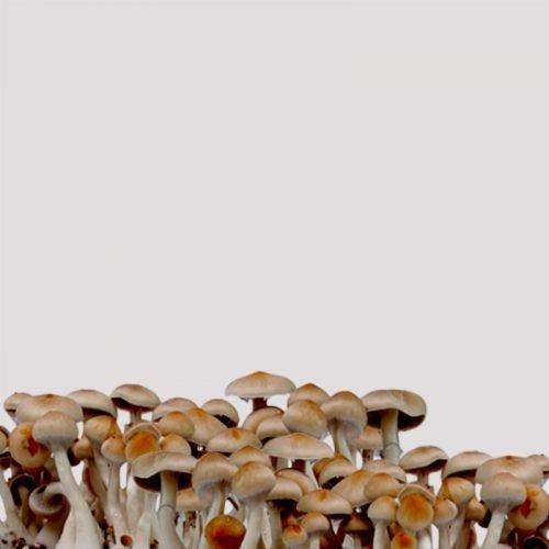 Spirit Molecule - Ecuadorian Psilocybe Spores