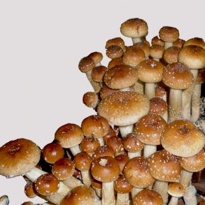 Spirit Molecule - Jeepers Creepers Psilocybe Spores