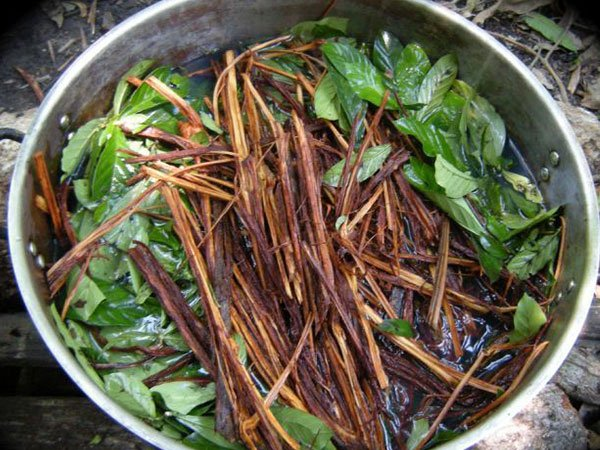 Ayahuasca Brew in the Making