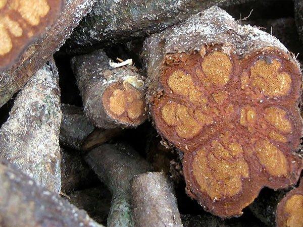 Banisteriopsis - Ayahuasca Vine