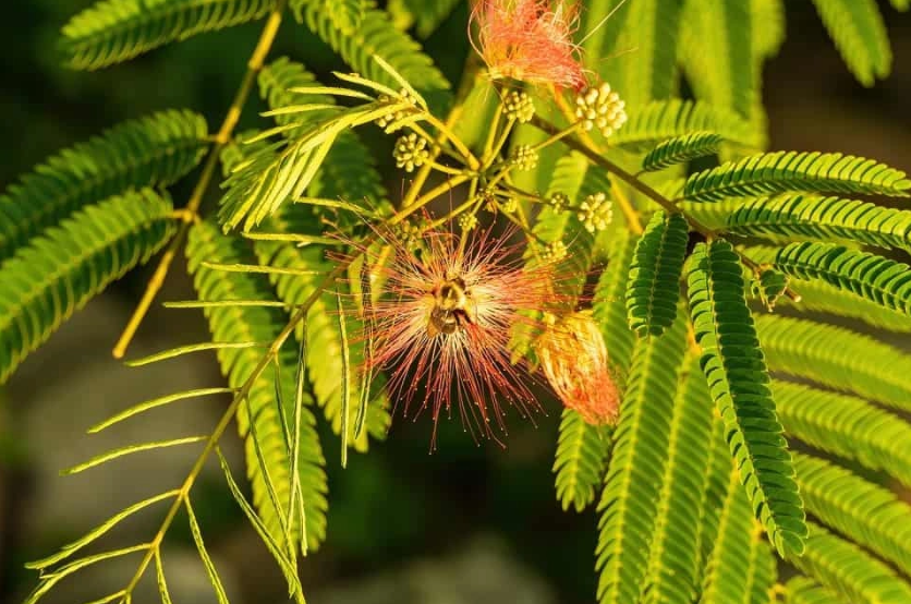 The 7 Uses of Mimosa Hostilis